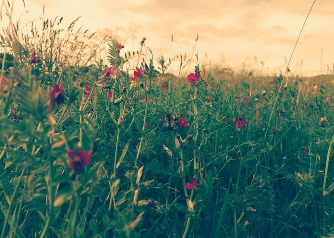 Beautiful shot. Flower Plant Nature Sunset Field Growth Wildflower Uncultivated Vibrant Color Outdoors Rural Scene Non-urban Scene Scenics Beauty In Nature Photography Summertime The Great Outdoors - 2017 EyeEm Awards Live For The Story Tranquility Capture The Moment Bees And Flowers Bee The Photojournalist - 2017 EyeEm Awards Phonecamera PhonePhotography The Week On EyeEm Breathing Space