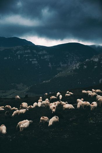 Flock Of Sheep Grazing Against Mountains