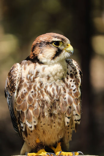 Falke Animal Animal Eye Animal Themes Animal Wildlife Animals In The Wild Beauty In Nature Bird Bird Of Prey Falcon - Bird Focus On Foreground Hawk - Bird Looking Nature Outdoors
