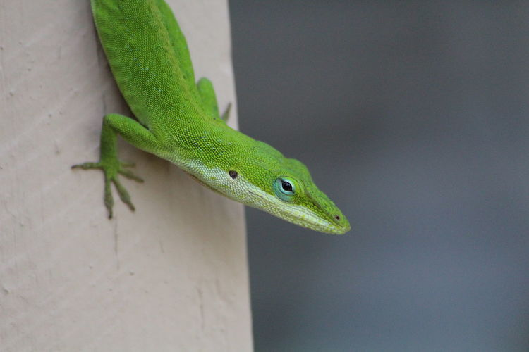 Close-up of anole lizard on wall