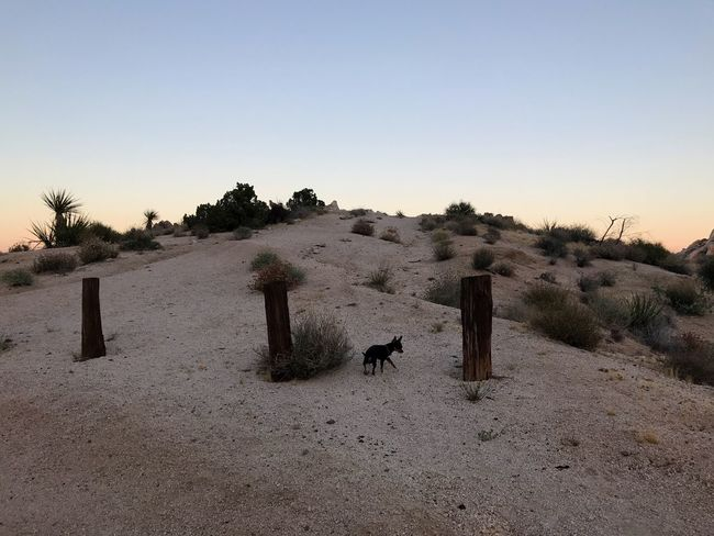 Stalking the elusive fence post... Photobombed Animal Themes Nature Clear Sky No People Outdoors Mammal Sand Domestic Animals Day Arid Climate Desert Animals In The Wild Landscape One Animal Scenics Sky Sand Dune Tree