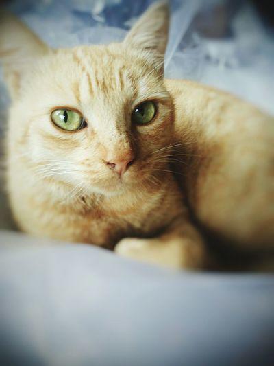Garfield Cat Green Eyes Cat