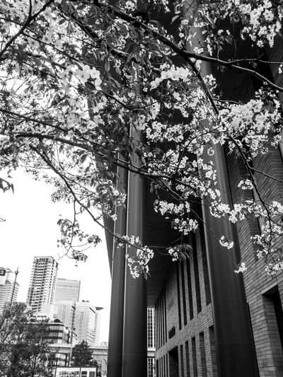 Cherry Blossom Tree Architecture Low Angle View Building Exterior Office Building Exterior