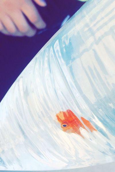 Captured Goldfish One Animal Outdoors Animal Themes Close-up