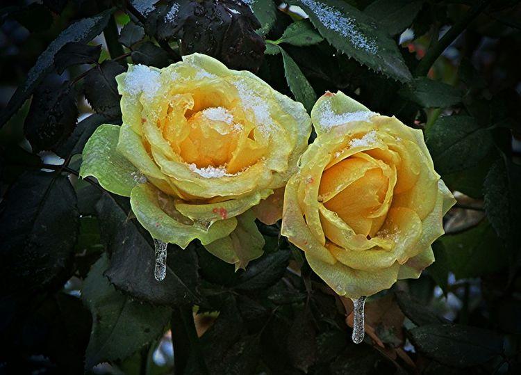 осень розы Красоты природы удивительноерядом Замерзшая красота:(