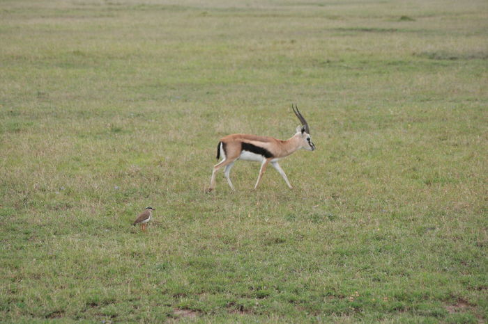 Animal Themes Animals In The Wild Antelope Beauty In Nature Bird Day Domestic Animals Field Full Length Gazelle Grass Grassy Green Color Landscape Mammal Nature No People One Animal Outdoors Side View Two Animals Wildlife