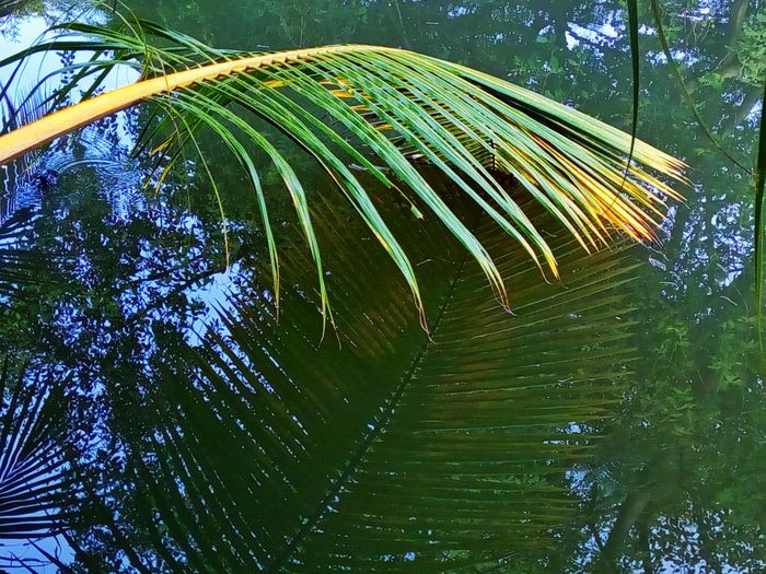 Shadow In The Water Shadow Of Leaves Shadow Of Leaf Coconut Leaves Coconut Leaf Leaves Leaf Photography Leaves Photography Green Color Nature Leaf