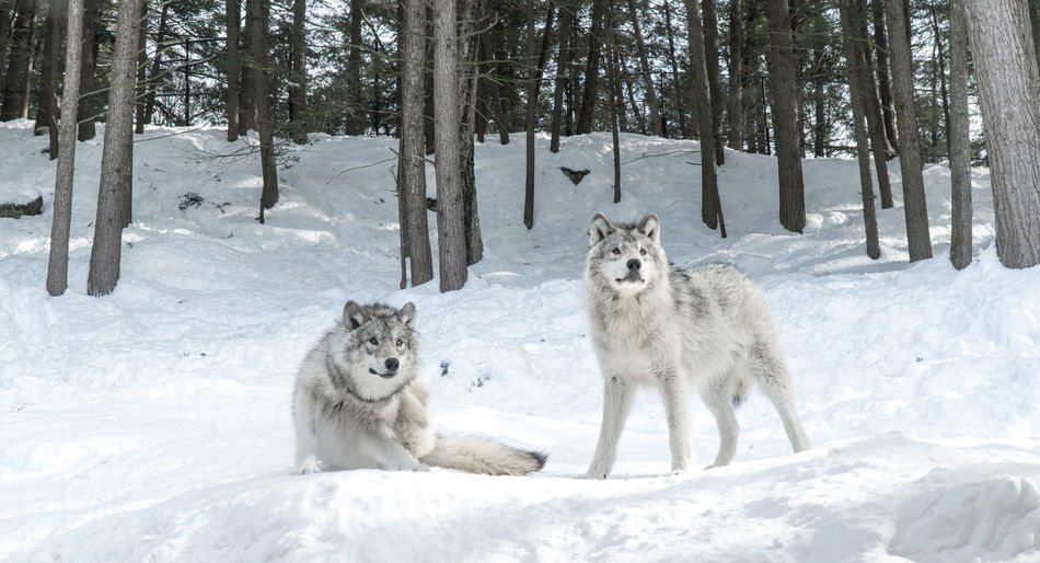 Canada Coast To Coast Travel Destinations No People Snow Cold Temperature Winter Tree Mammal Animal Animal Themes Group Of Animals Land Vertebrate Day Plant Nature Animals In The Wild White Color Two Animals Animal Wildlife Beauty In Nature Dog Wolf Outdoors WOlves