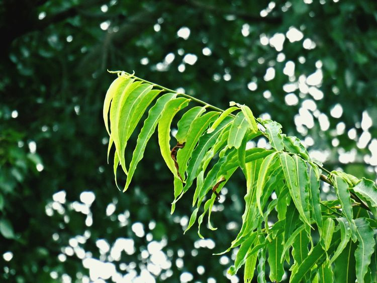 Leaf Nature Green Color Freshness Plant Outdoors Beauty In Nature Tree Focus On Foreground Backgrounddefocus Backgroundblur