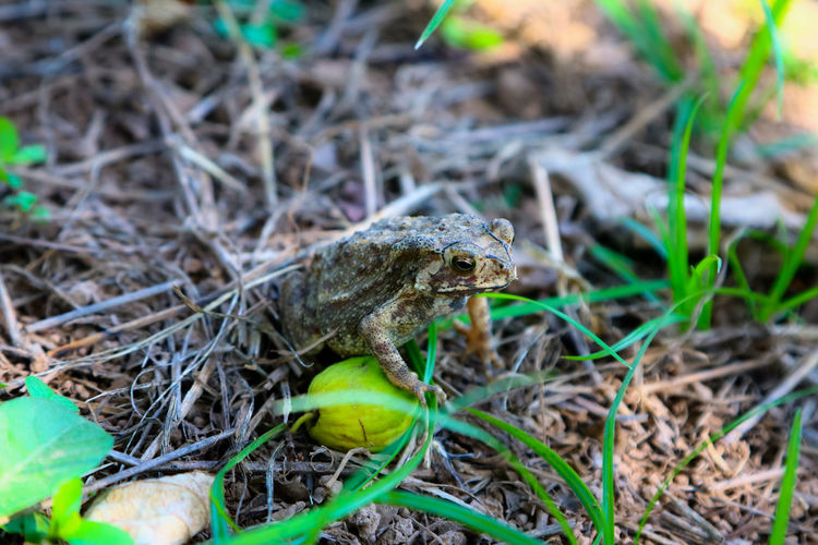 Animal Themes Animal Wildlife Animals In The Wild Close Up Close-up Day Field Frog Grass Iguana Monkey Apple Nature No People One Animal Outdoors Reptile