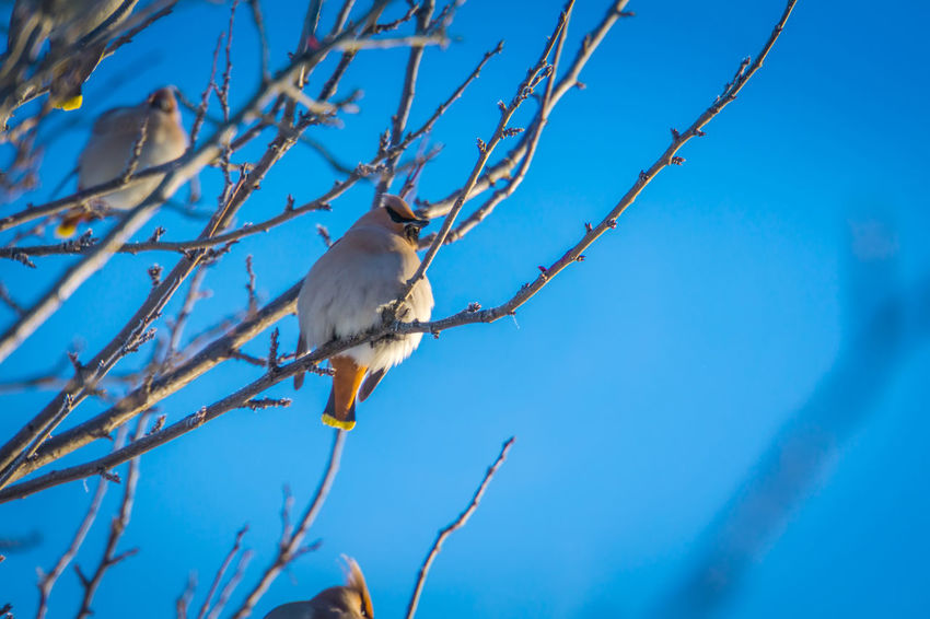 Wintertime Animal Animal Themes Animal Wildlife Animals In The Wild Beauty In Nature Bird Blue Branch Day Low Angle View Nature No People One Animal Outdoors Perching Plant Sky Sunlight Tree Vertebrate Waxwing Waxwings