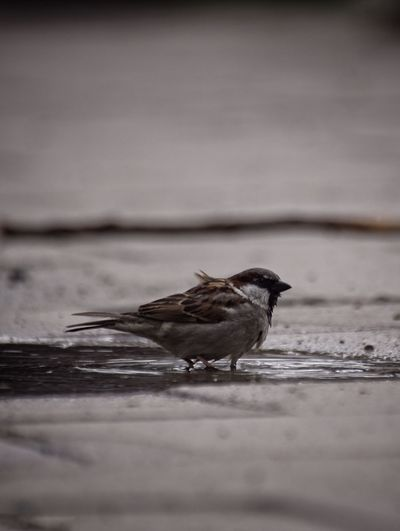 House Sparrow Niklas Storm Maj 2018 Bird Water Swimming Lake Animal Themes Living Organism Songbird  Sparrow My Best Photo
