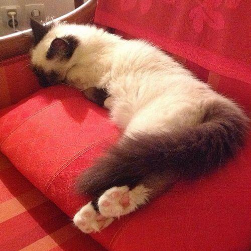 Time for a nap ? Cat Beautiful France Birman  Cat Lovers Sacredebirmanie