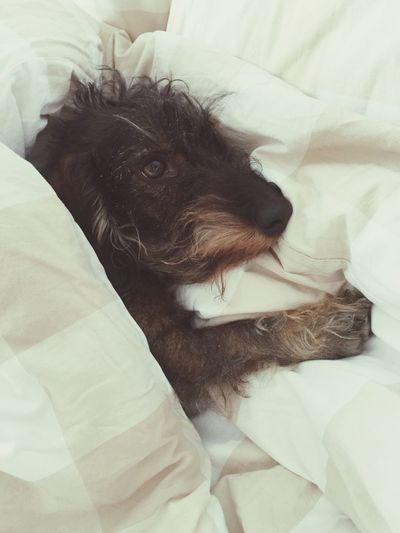 Doug! Pets Domestic Animals Bedroom Home Interior One Animal Colour Of Life Dog Dashund Confort Softness Softness Is My Kingdom Sweet Dreams