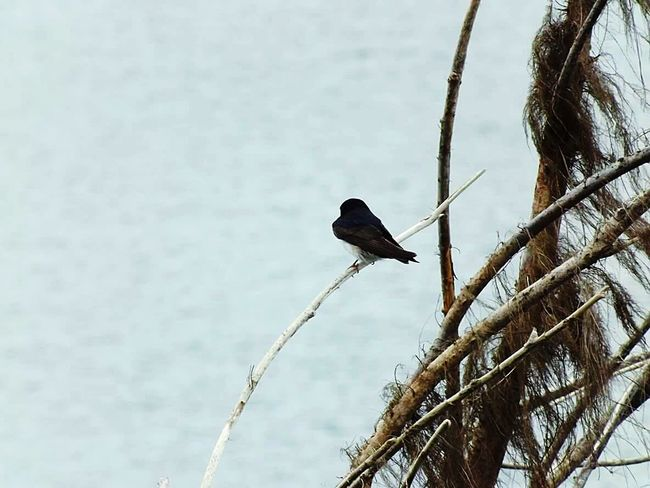 Free as a Bird🌳🐦 Relax Lake Bird Tree South Austral Chile Water River Nature Exceptional Photographs Beautiful Nature EyeEm Nature Lover Photography Free Freedom Puerto Saavedra