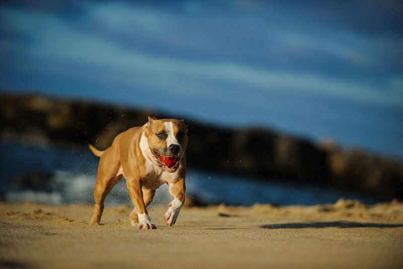 Dog with ball running on sand at beach