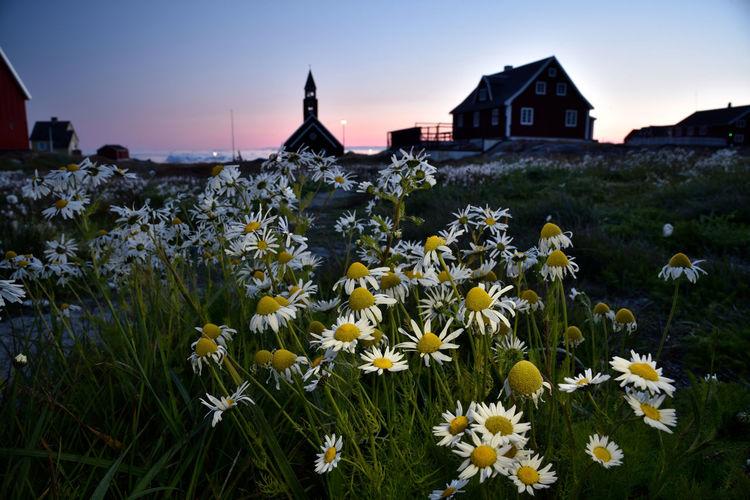 Flowers growing on field by buildings against sky
