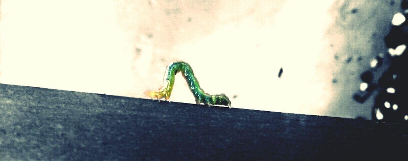 Little Caterpillar Bugs Green Caterpillar Nature