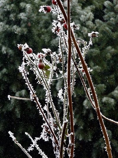 Frosty branches in Ortenberg Germany Tree Nature Branch Outdoors Day Beauty In Nature No People Frozen Snow