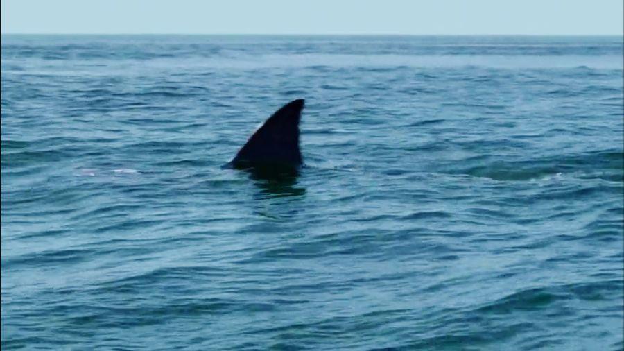 Shark Fin UnderSea Sea Life Swimming Animal Fin Aquatic Mammal Water Sea Blue