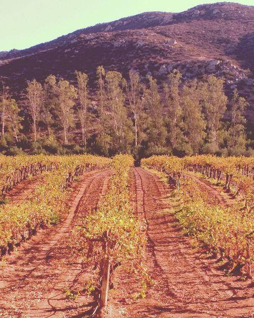 Baja California Paisajes Cosecha Viñedos Valle De Guadalupe BC Vinícola L.A. Cetto Vino