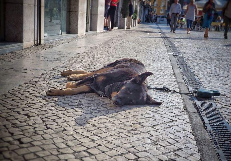 Dog Lisbon