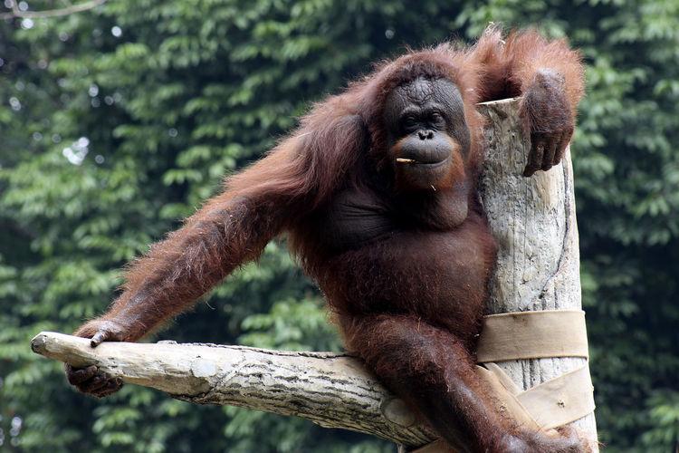 Portrait of orangutan resting on bare tree branch