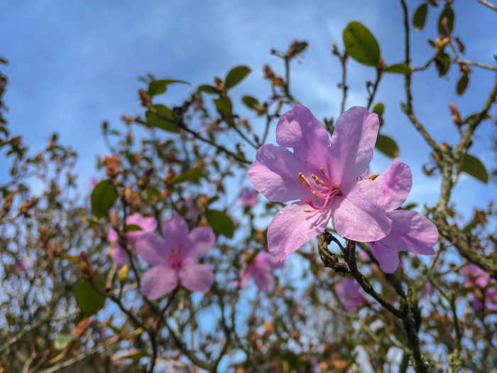 Close-up of purple colored azalea blossom in spring Flowering Plant Flower Freshness Plant Beauty In Nature Fragility Vulnerability  Petal Growth Pink Color Close-up Inflorescence Blossom Nature Branch Springtime Flower Head Tree Day No People Pollen Outdoors Spring Azalea Rhododendron