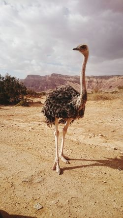 Animals In The Wild Animal Wildlife Ostrich Bird One Animal Full Length Animal Themes Animal No People Nature Outdoors Day