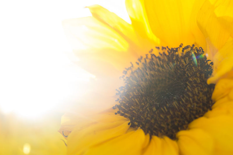 Close-up of sunflower blooming on sunny day