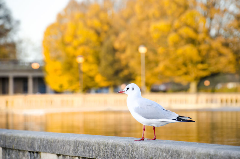 Autumn Autumn colors Warn Colours Atmospheric Mood Bird Nature No People Day Uk England Selective Focus One Animal Focus On Foreground Animal Wildlife Animal Seagull Close-up Blurred Background Bird Photography Park Autumn Leaves Fall Autumn Mood Autumn Mood