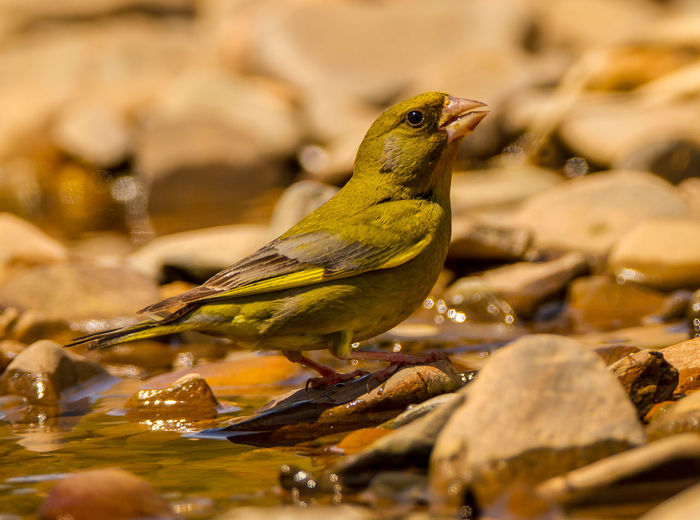 Animal Themes Animal Wildlife Animals In The Wild Beauty In Nature Bird Bird Photography Chloris Chloris Close-up Day European Birds European Greenfinch Greenfinch Nature Nature Photography No People One Animal Perching Western Palearctic Wildlife & Nature Wildlife Photography