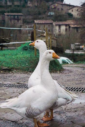 Patos en Rupit