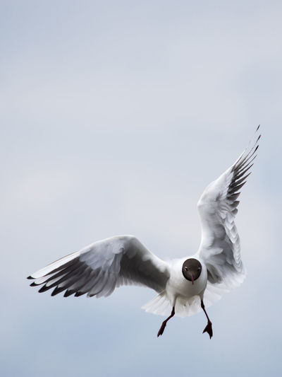 Close-up of black-headed gull flying against sky