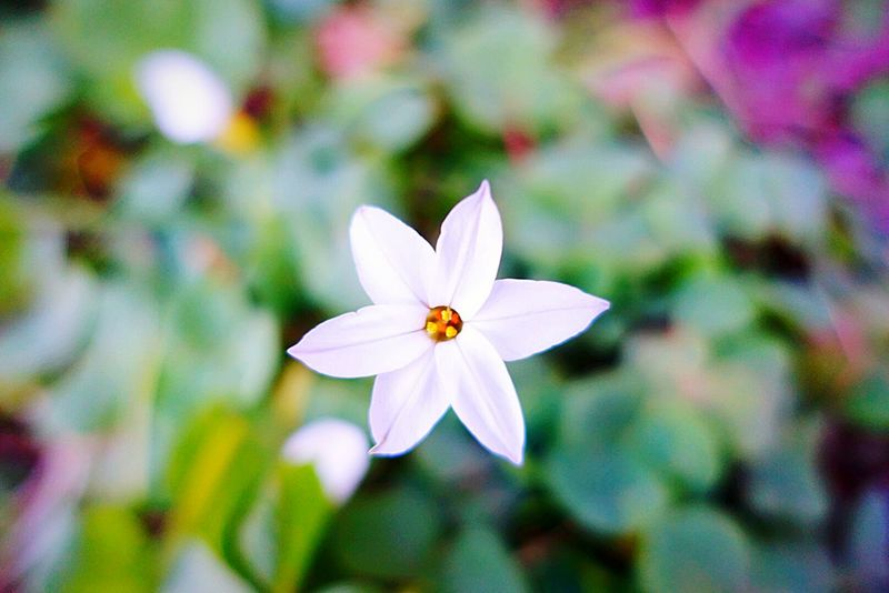 Nature Close-up Flower Beauty In Nature Outdoors No People Day Fragility Flower Head ハナニラ Springstarflower Springstar Taking Photos Photography Beauty In Nature Focus On Foreground 植物 Plant Growth EyeEm Best Shots - Nature 自然 花