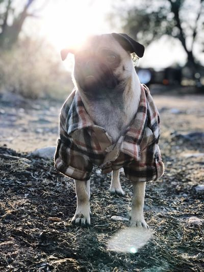 Pug One Animal