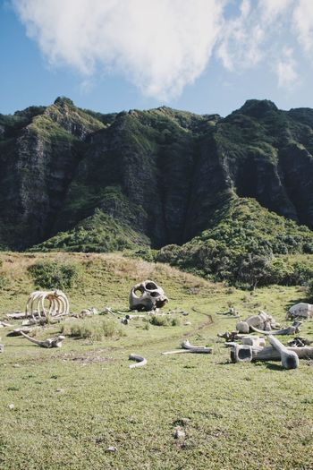 Kualoa ranch, where major movies were filmed Animal Themes Beauty In Nature Cloud - Sky Day Domestic Animals Grass Landscape Mammal Mountain Nature No People Outdoors Scenics Sky Tranquil Scene Tranquility Tree