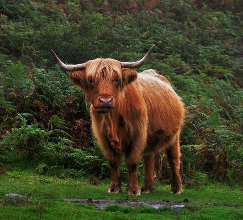Highland Cow Highland Horns Scotland Scottish Animal Themes Brown Cattle Cattledog Cow Cows Day Domestic Animals Domestic Cattle Field Grass Highland Cattle Horned Livestock Mammal Nature No People One Animal Outdoors Standing Tree