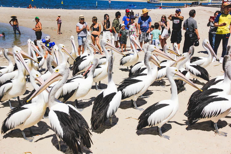 pelicans at a local beach waiting for a regular feed by a local fish market Animals In The Wild Vertebrate Animal Themes Animal Bird Animal Wildlife Water Beach Large Group Of Animals Group Of Animals Sea Nature Land Large Group Of People Crowd Group Of People Day Real People Outdoors Flock Of Birds Pelicans Pelican