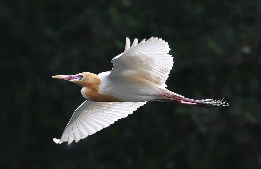 Animal Animal Themes Animal Wildlife Animal Wing Animals In The Wild Beauty In Nature Bird Close-up Day Egret Flying Focus On Foreground Mid-air Motion Nature No People One Animal Spread Wings Vertebrate White Color