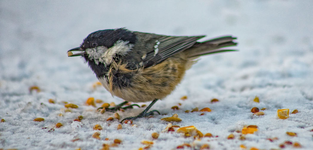 winter feast Low Angle View Animal Themes Animal Wildlife Animals In The Wild Bird Close-up Cold Temperature Food No People Snow Wildlife Winter