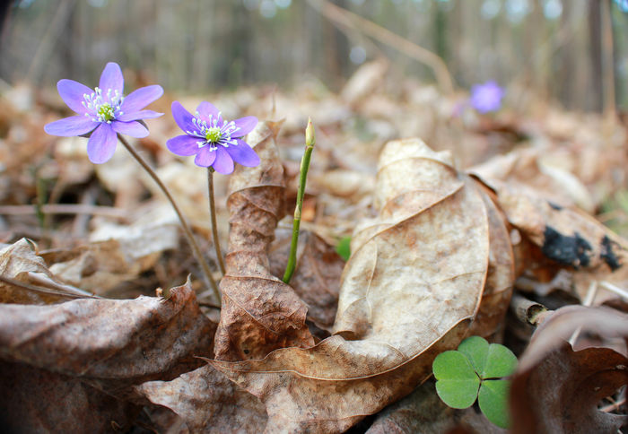 Spring is coming! Beauty In Nature Close-up Day Dry Leafs Flower Flower Head Fragility Freshness Growth Hepatica Kevät Kukka Leaf Leafs Nature No People Outdoors Plant Purple Sinivuokko Spring