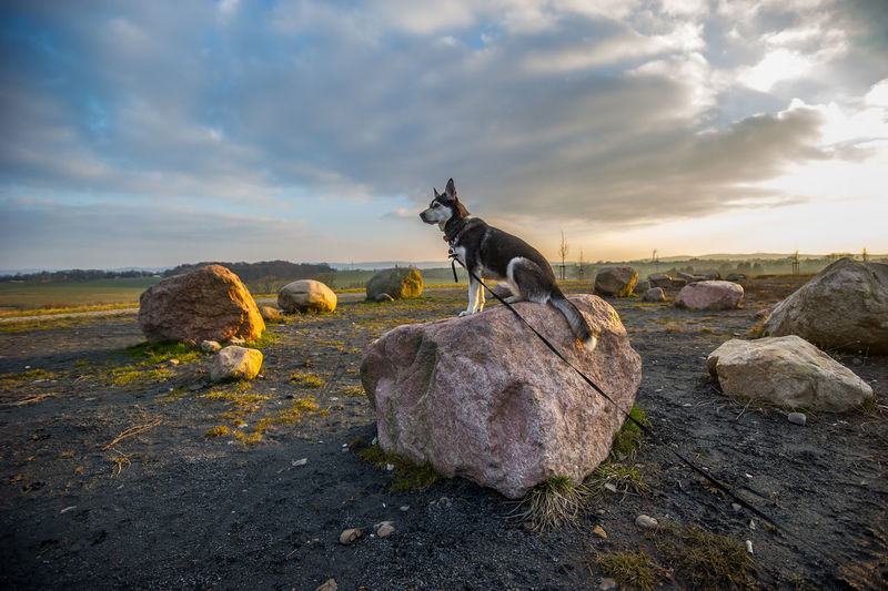 Side view of siberian husky sitting on rock against cloudy sky during sunset