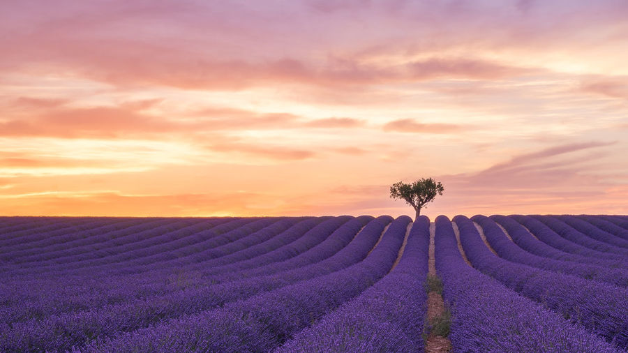 Sunset In the lavender fields.... France Holiday Provence Tree Agriculture Beauty In Nature Cloud - Sky Day Field Flower Freshness Growth Landscape Lavender Nature No People Outdoors Plant Purple Rural Scene Scenics Sky Sunset Tranquil Scene Tranquility