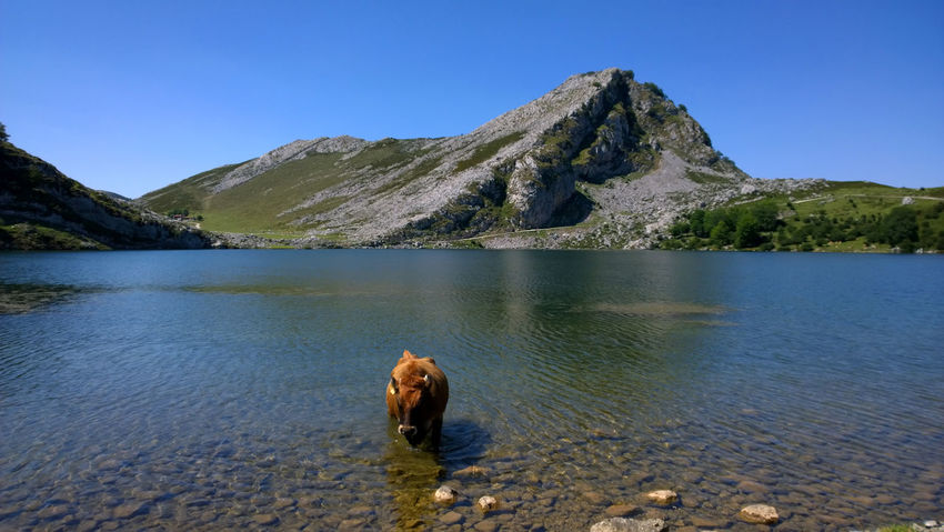 View of a cow at Lake Enol in Lakes of Covadonga, Asturias - Spain Animal Asturias Covadonga Cow Cows Enol Lake Lago Enol Lagos De Covadonga Lake Lakes  Landscape Mammal Mountain Nature Outdoors Peak Pets Picos De Europa Picturesque Rural Scenics SPAIN Touristic Travel Water