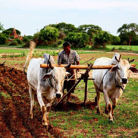 Ploughman Ploughman Oxen Bagan Myanmar Burma Farm Plough Traditional Temple Nofilterneeded Nofilter Travel Travelingram Travelgram BBCTravel Natgeotravel Worlderlust Instagood Follow Followme Photooftheday Picoftheday Beautiful Like Instalike THROUGHANEWLENSCONTEST
