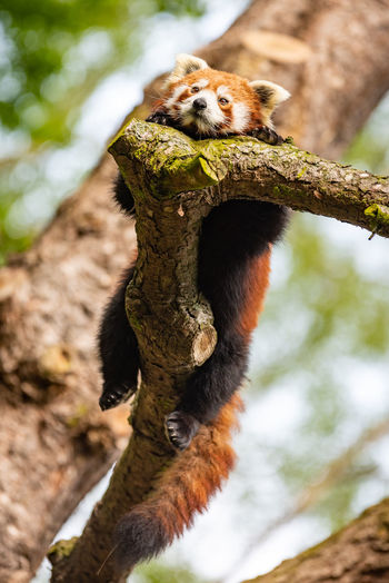 Red panda (Ailurus fulgens) relaxing in a tree. Ailurus Fulgens Red Red Panda Relaxing Tree Animal Animal Photography Animals In The Wild Branch Lazy Lazy Day Low Angle View Lying Down Mammal Nature No People One Animal Outdoors Panda Relax Relaxation Tree Vertebrate