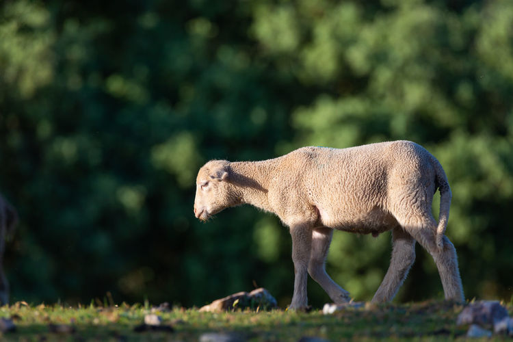 Close-up of lamb standing on land
