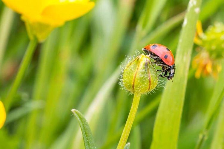 Ladybird on a buttercup flower bud.