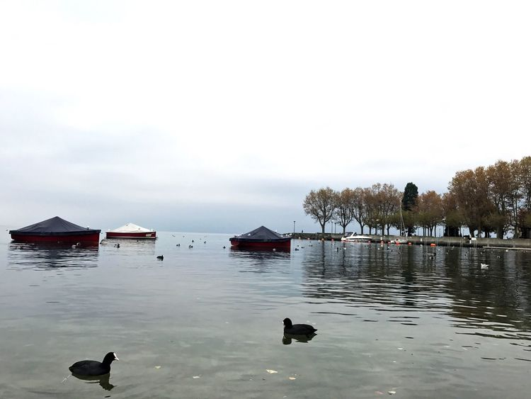 Lausanne Animals In The Wild Animal Themes Bird Water Nature Animal Wildlife Duck Sky Beauty In Nature No People Lake Outdoors Day Architecture Swan